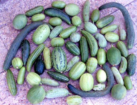 25 semi seeds di carosello tondo barattiere cucumis melo for Cetriolo tondo