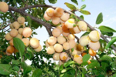 Collezione antiche variet da frutta del germoplasma autoctono - Calendario trattamenti piante da frutto ...