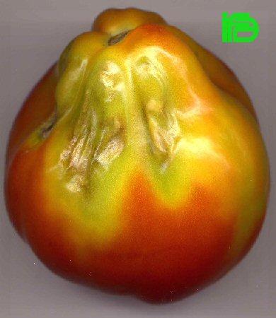 Identificazione e diagnosi di malattie virali for Malattie pomodoro